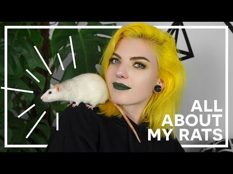 MEET MY PET RATS   all about my rats