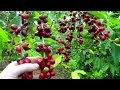 Make a Cup of Coffee Starting From Scratch | Coffea arabica | Video