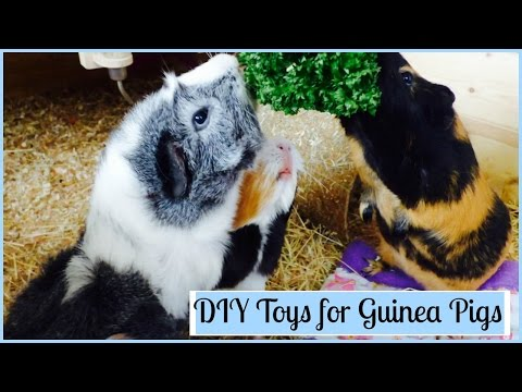 DIY Toys For Guinea Pigs
