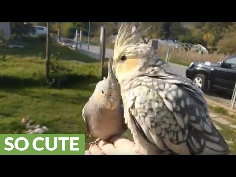 Trained Cockatiels Fly Free And Return To Owner On Command