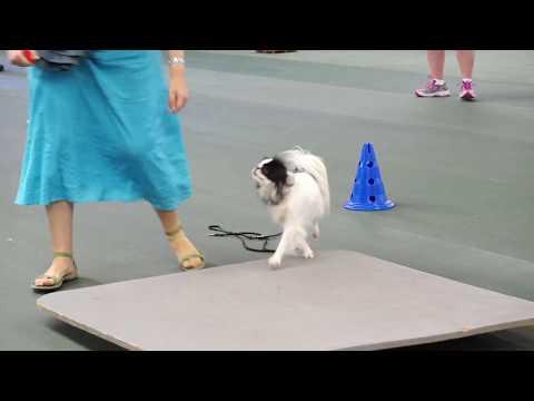 Hestia's pre agility class: week 2