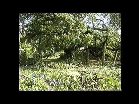 CRHnews - Sandon Oak collapses at grand old age