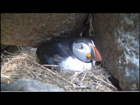 Puffin or Chainsaw? June 10, 2017