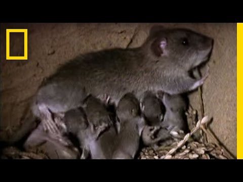 Momma Rat: 15,000 Babies a Year! | National Geographic