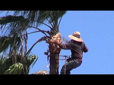 Palm tree trimming with a chainsaw
