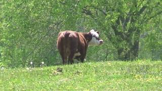 Download MAD COW KILLER CAUGHT ON TAPE Video