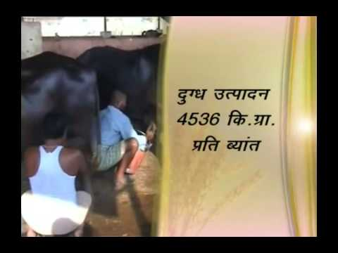 Expert advice to increase production of buffalo milk