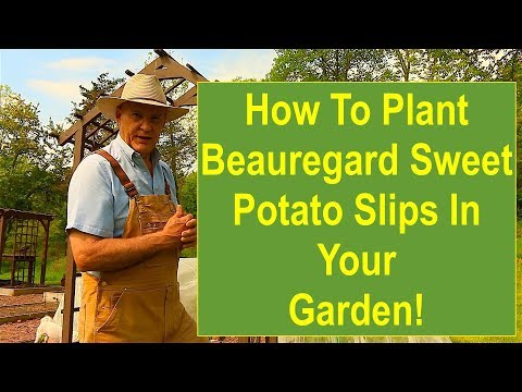 Tips and Ideas on How-to Plant Beauregard Sweet Potato Slips in Your Vegetable Garden