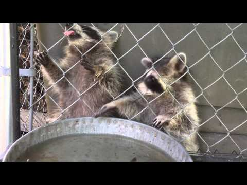 Baby raccoon puts head through fence to get a drink