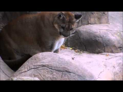 Bee Stings Cougar At Tyler Texas Zoo