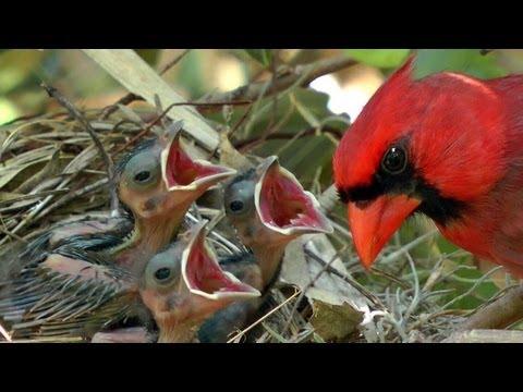HD Northern cardinals feeding baby birds FYV 1080 HD