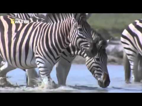 Big Monkeys Gorillas Zebras Mating Zebras Mating Images