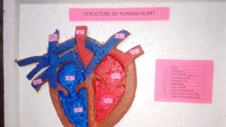 Heart model for school project Videos - 9tube tv