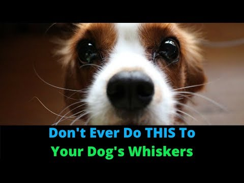 Why Do Dogs Have Whiskers? 3 Things You Didn't Know Whiskers Do!
