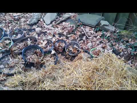 Hydrangea propagation winter protection