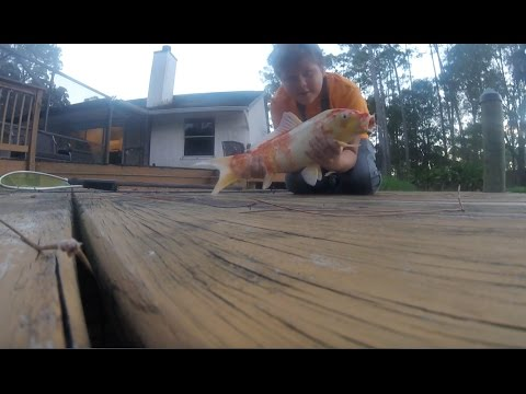 catching a huge koi in my pond!!!