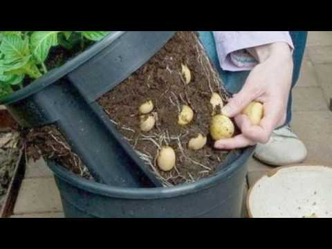 How To Grow Potatoes in Containers at Home in Garden or Indoors