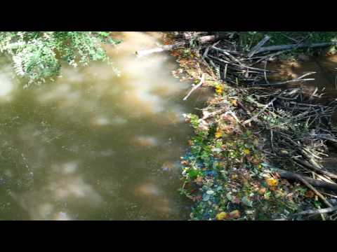 Beaver dam just built on the creek