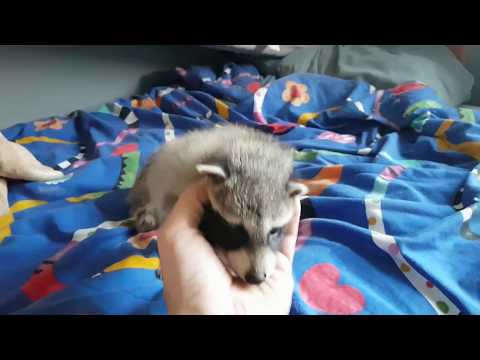 baby raccoons playing after a feeding