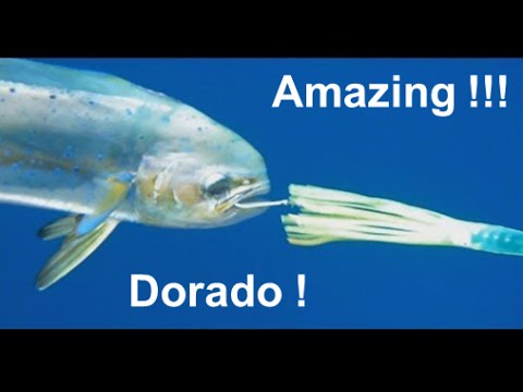 Fishing Adventures #88 - Catching Dorado (Dolphin Mahi) and Tuna in Fujairah