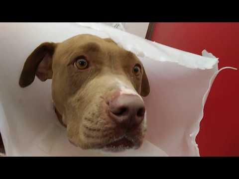 Pima Animal Care Center 4-21-18 Doggie Adoptable - Jake - 4 Year Old Male sat4me201837