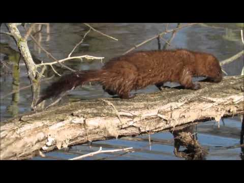 Mink Catching a Fish and Hunting the Banks in Michigan