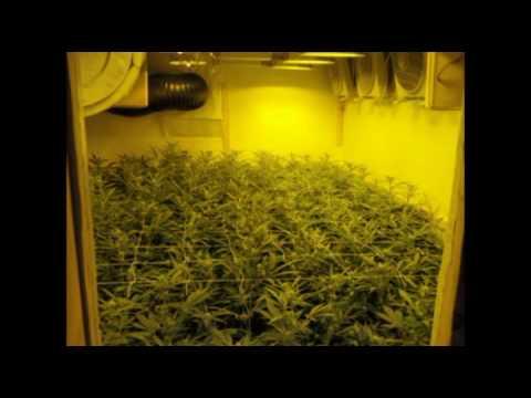 Limbo marijuana grow room with 99 NLX / www.limbo-co.com