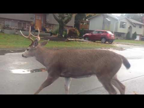 Deer in comox bc canada