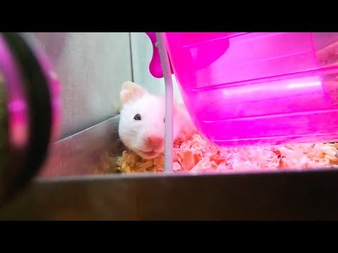 Adopting A Syrian Hamster!