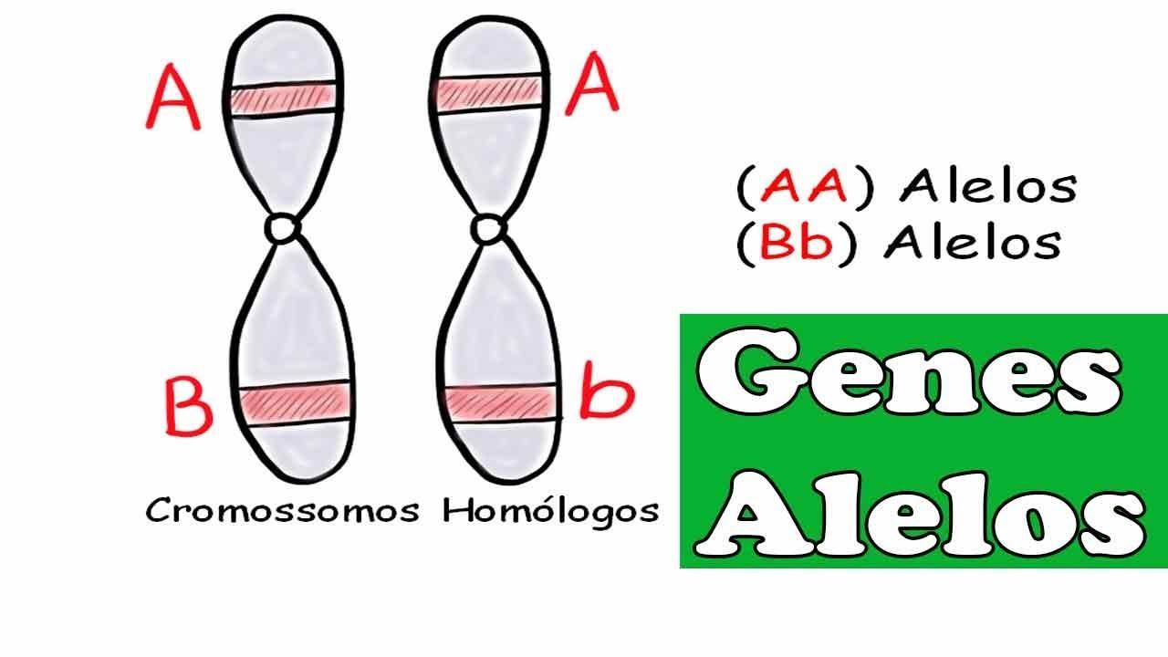 Genes Alelos   conceitos de homozigoto, heterozigoto, dominante e recessivo