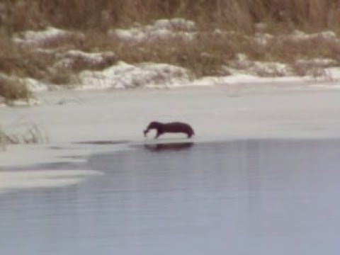 American Mink hunting and catching prey in winter