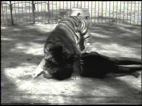Xxx Mp4 Crazy Girl Fights Tiger History 39 S Playlist Animals 3gp Sex