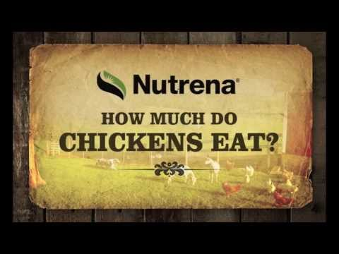 How Much Do Baby Chickens Eat?