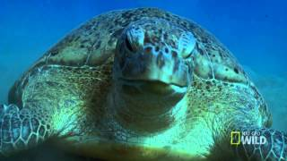 PBkids with NatGeo: Meet the Green Sea Turtles