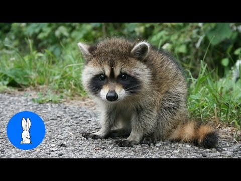 Baby Raccoons Are Cheeky - FUNNIEST Compilation