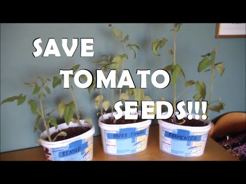 How to Save Tomato Seeds Best Method