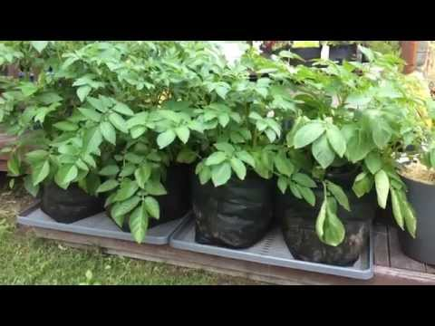 Update: How To Make Custom Sized Potato Grow Bags & Planting PT 2