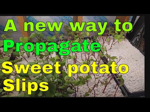 Starting sweet potato slips in perlite