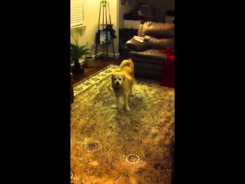 ADHD Dog