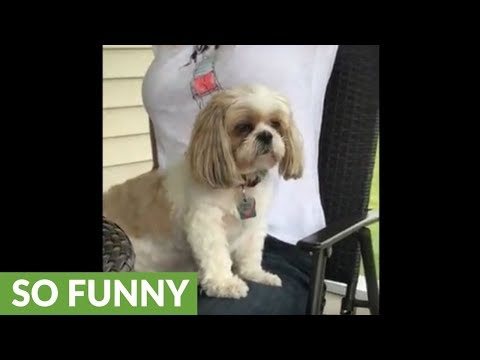 Shih Tzu dozes off while sitting up