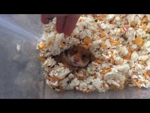 MY PREGNANT HAMSTER GINGER AND SHE YAWNS DURING THE VIDEO!!