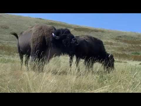 Montana buffalo mating season