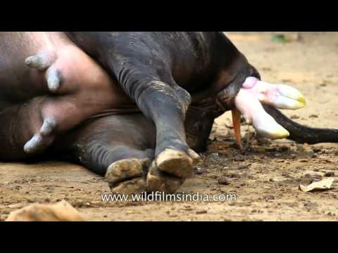 Xxx Mp4 Calf Is Born Before Your Eyes Birds And Bees Story 3gp Sex