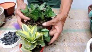 Una planta llamada lengua de suegra