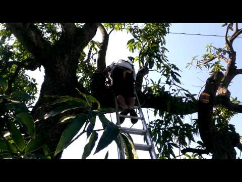 How to cut the branches from a mango tree