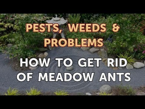 How to Get Rid of Meadow Ants