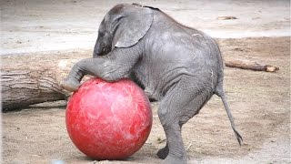 Cute Baby Elephant - A Cute And Funny Baby Elephant Videos Compilation    NEW HD