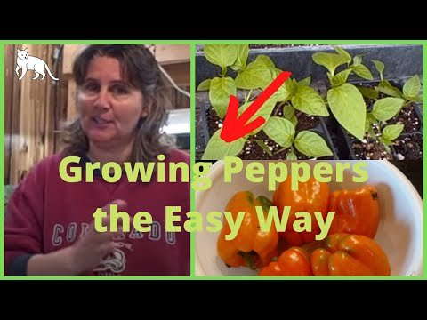 Ep 340 Growing Peppers from Seed Using Paper Towel Method - Heat Germination Mat