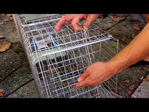 Setting trap to catch pest animal simply easy