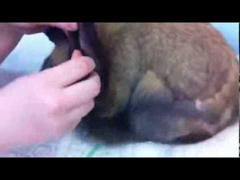 Cleaning Rabbits ears